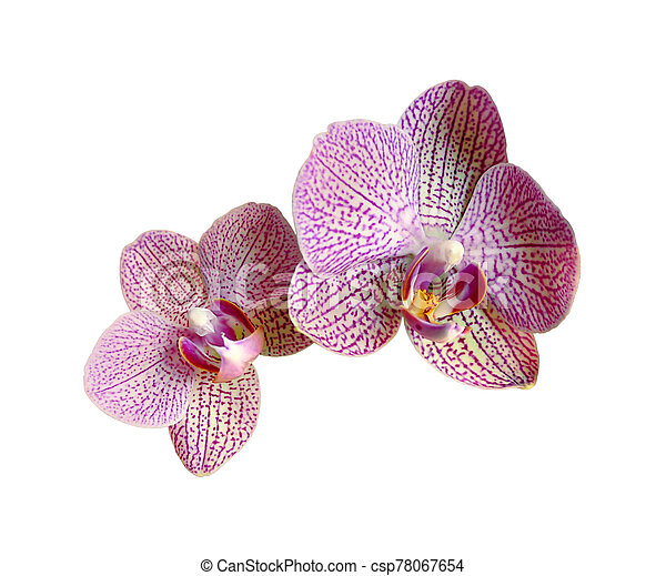 Beautiful pink orchid isolated on a white background - csp78067654
