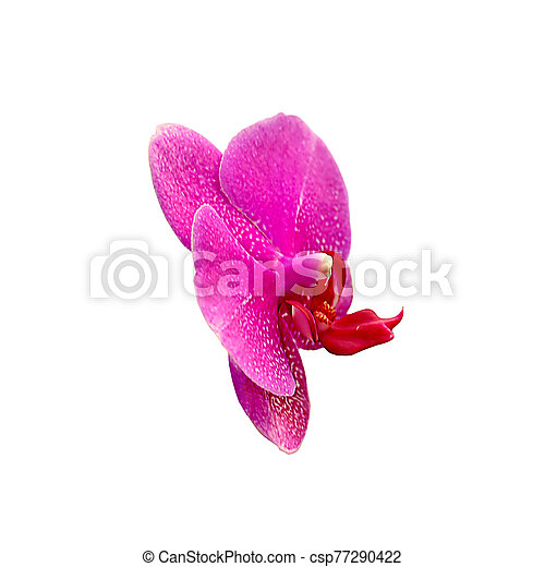 Beautiful pink orchid isolated on a white background - csp77290422