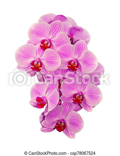 Beautiful pink orchid isolated on a white background - csp78067524