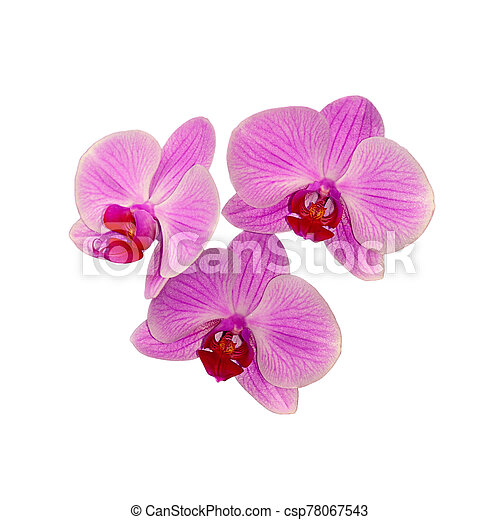 Beautiful pink orchid isolated on a white background - csp78067543