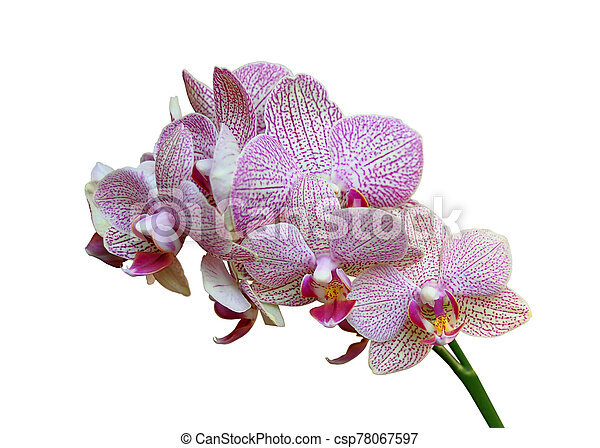 Beautiful pink orchid isolated on a white background - csp78067597