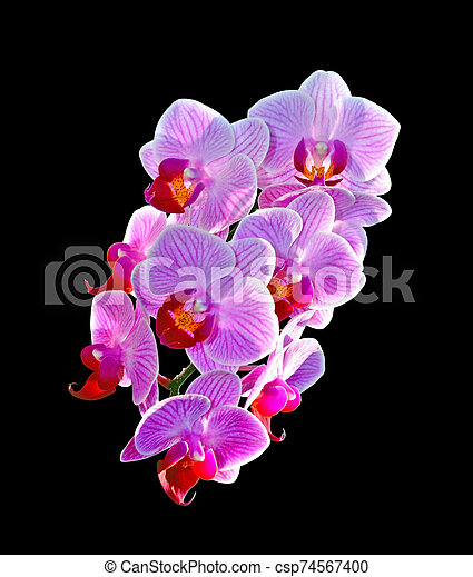 Beautiful pink orchid isolated on a black background - csp74567400