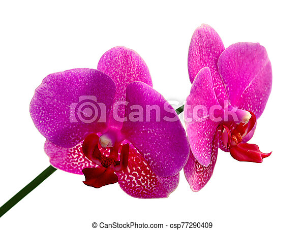 Beautiful pink orchid isolated on a white background - csp77290409