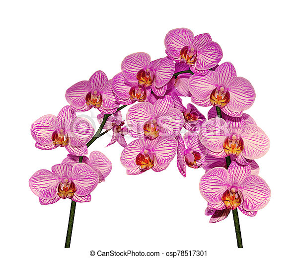 Beautiful pink orchid isolated on a white background - csp78517301