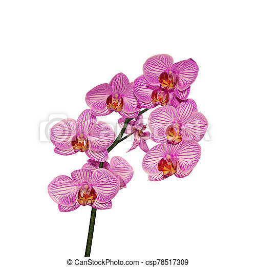 Beautiful pink orchid isolated on a white background - csp78517309