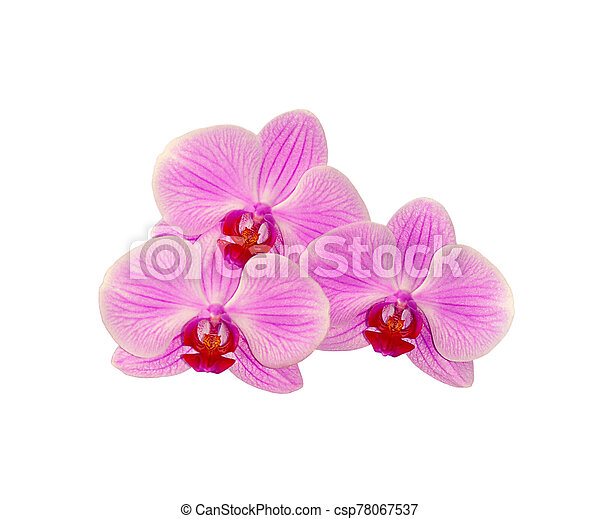 Beautiful pink orchid isolated on a white background - csp78067537