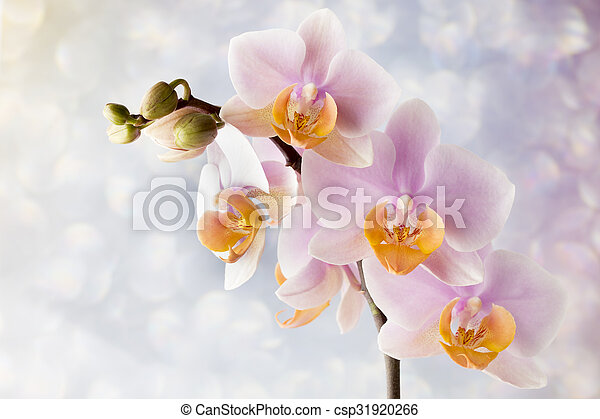 Beautiful pink orchid on a gray background. - csp31920266