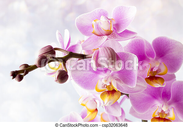 Beautiful pink orchid on a gray background. - csp32063648