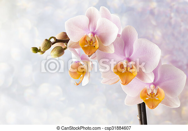 Beautiful pink orchid on a gray background. - csp31884607