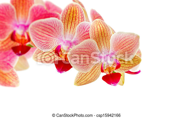 Beautiful pink orchid on a white background - csp15942166