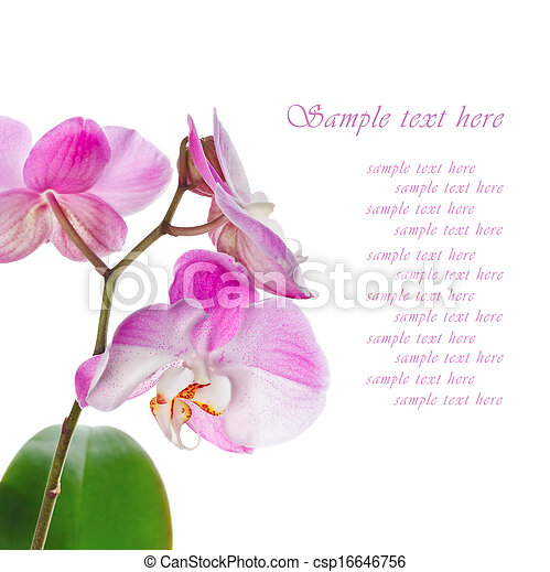 Beautiful pink orchid on a white background - csp16646756