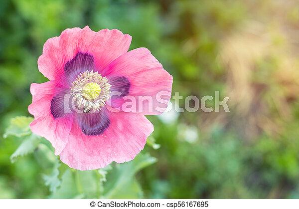 Beautiful pink poppy flower. Spring background. - csp56167695