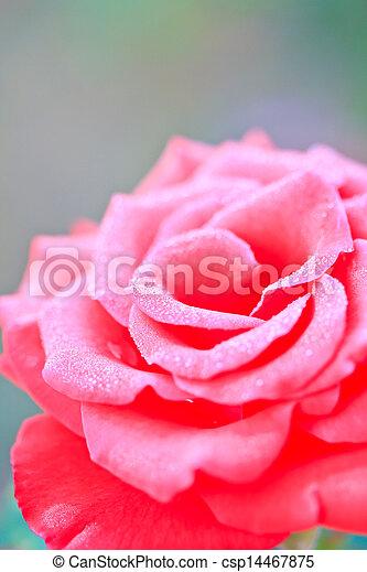 Beautiful pink rose in a garden - csp14467875