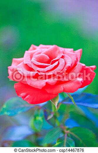Beautiful pink rose in a garden - csp14467876