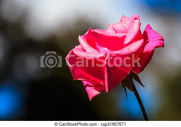 Beautiful pink rose in a garden - csp31857671