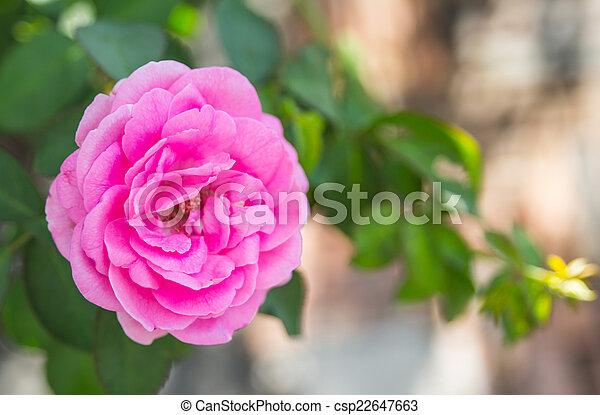 Beautiful pink rose in a garden - csp22647663