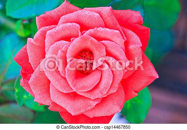 Beautiful pink rose in a garden - csp14467850