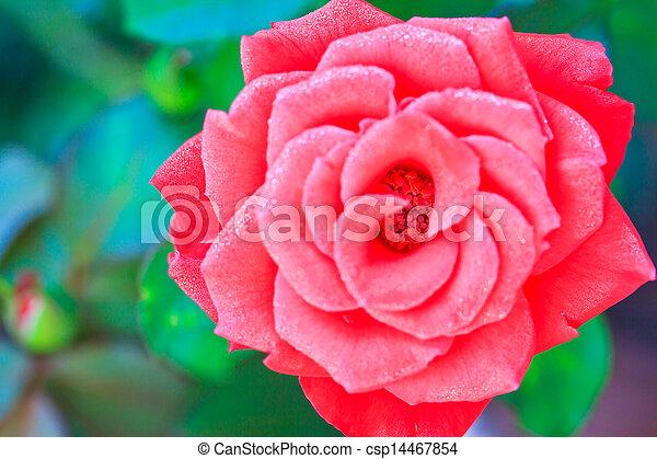 Beautiful pink rose in a garden - csp14467854