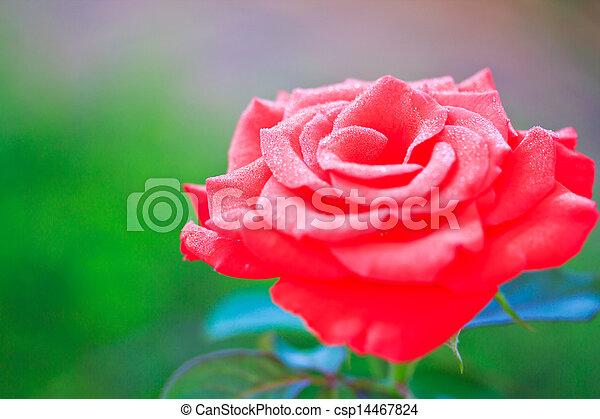 Beautiful pink rose in a garden - csp14467824