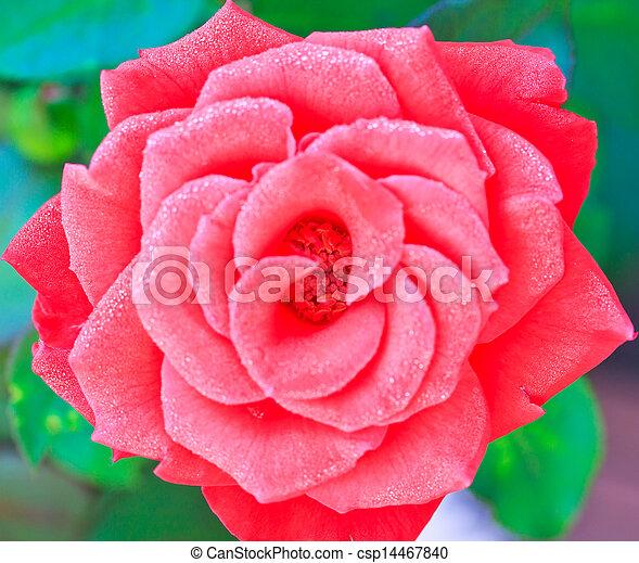 Beautiful pink rose in a garden - csp14467840