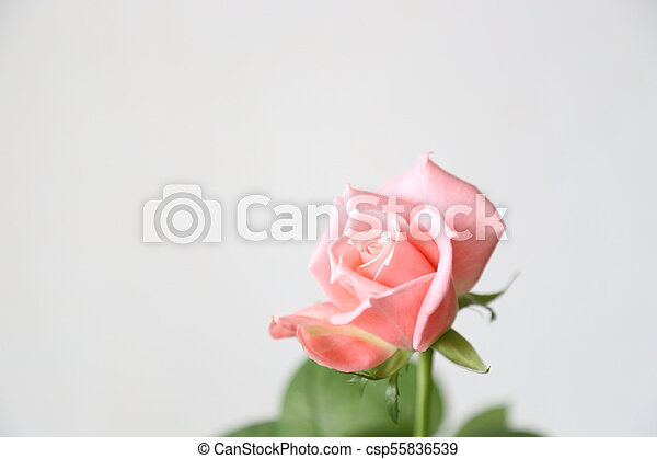 Beautiful pink rose on a gray background - csp55836539