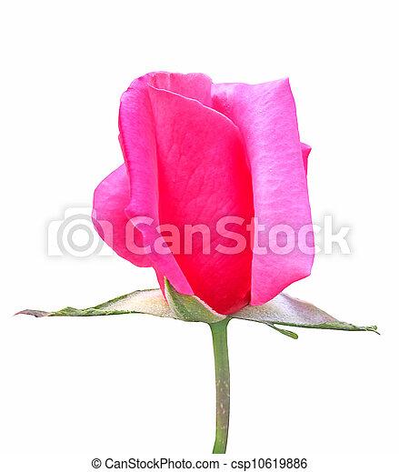 Beautiful Pink Rose - csp10619886