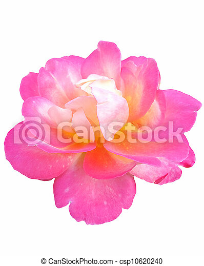Beautiful Pink Rose - csp10620240
