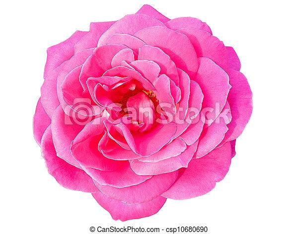 Beautiful Pink Rose - csp10680690