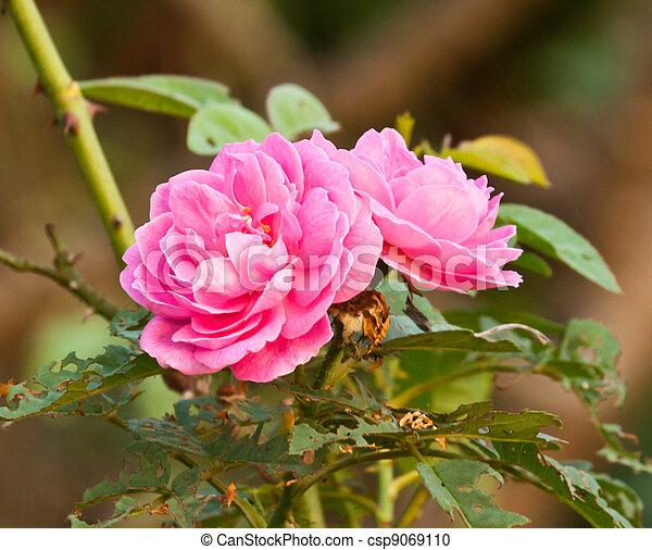 beautiful pink rose - csp9069110