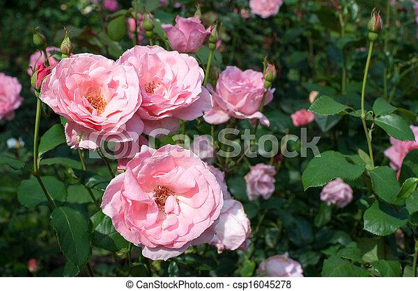 Beautiful pink roses - csp16045278