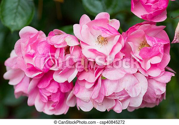 Beautiful pink roses - csp40845272