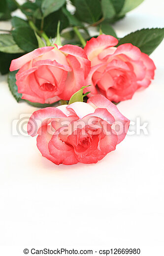 Beautiful, pink roses - csp12669980