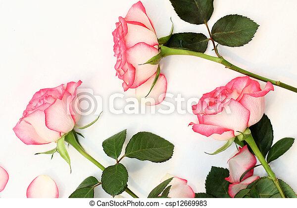 Beautiful, pink roses - csp12669983