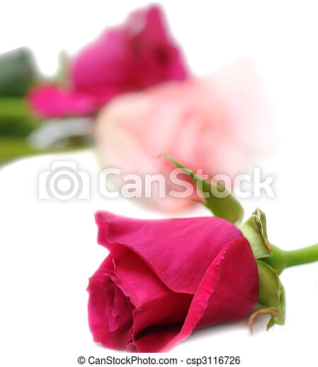 Beautiful pink roses - csp3116726