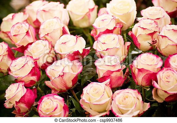 Beautiful pink roses - csp9937486