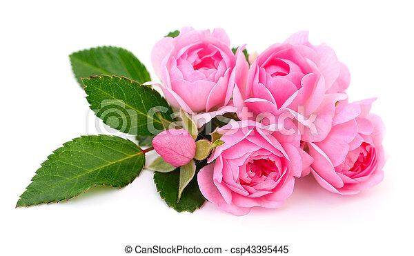 Beautiful pink roses. - csp43395445