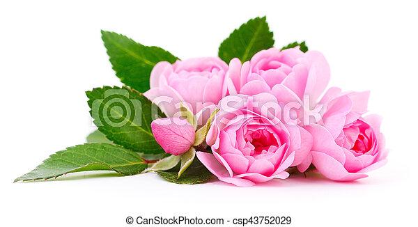 Beautiful pink roses. - csp43752029