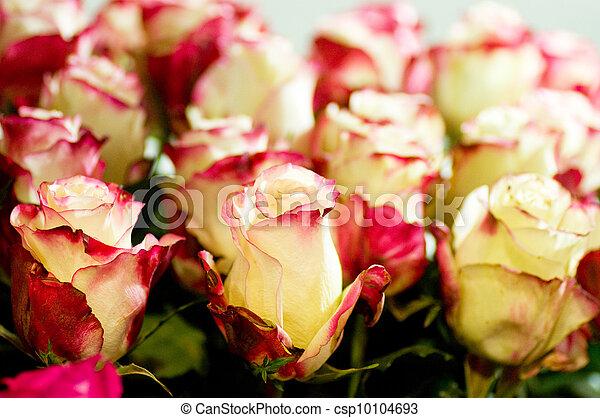Beautiful pink roses - csp10104693