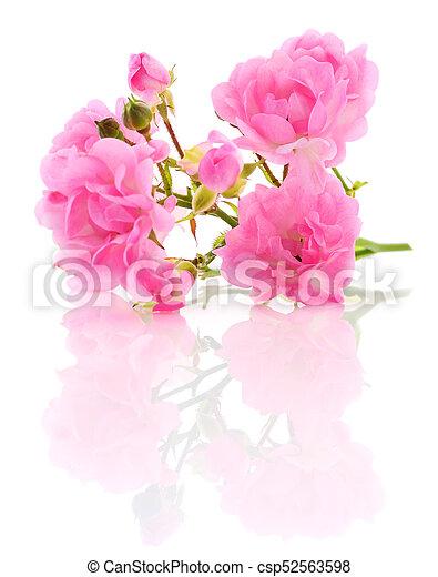 Beautiful pink roses. - csp52563598