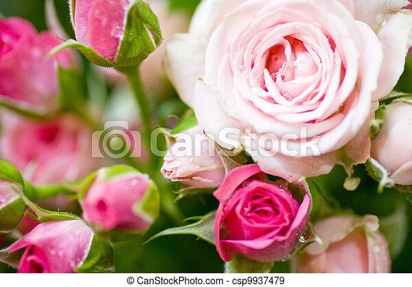 Beautiful pink roses - csp9937479