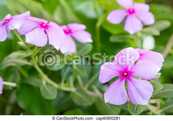 Beautiful pink vinca flowersmadagascar periwinkle mightylinksfo