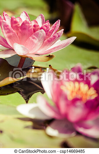 Beautiful pink water lily and green leaves. - csp14669485
