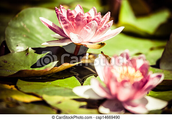 Beautiful pink water lily and green leaves. - csp14669490