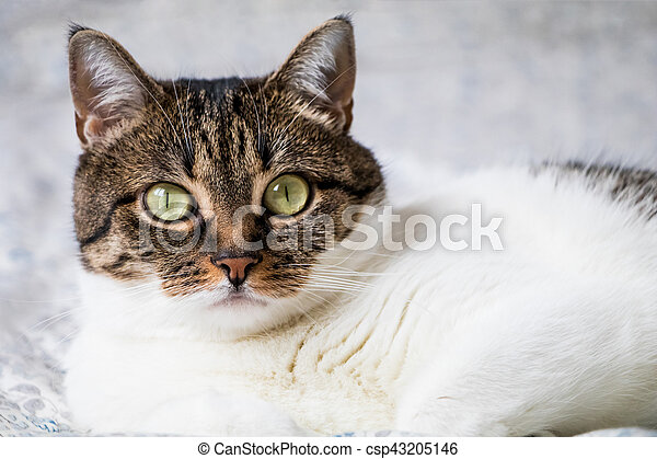 Beautiful portrait of a tabby cat lying on the bed and looking into the camera. Funny colored cat with striped head and back and white chest - csp43205146