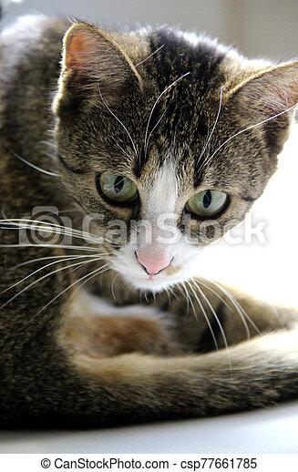 Beautiful portrait of tabby cat - csp77661785