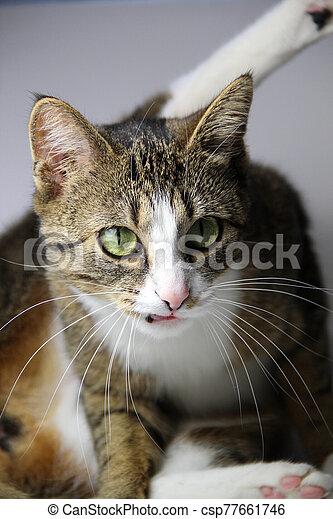 Beautiful portrait of tabby cat - csp77661746