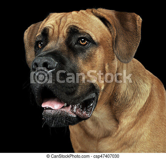 Beautiful Puppy Cane Corso Portrait In A Black Photo Background