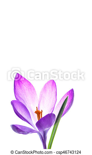 Beautiful purple crocus flower on a white background stock photo beautiful purple crocus flower csp46743124 mightylinksfo