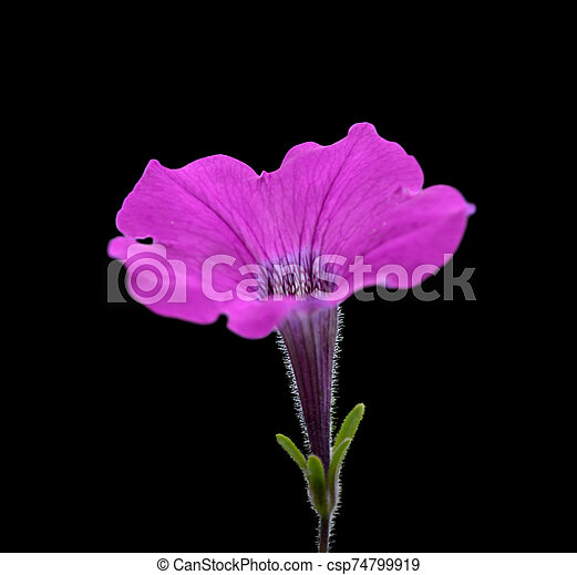Beautiful purple flower isolated on a black background - csp74799919