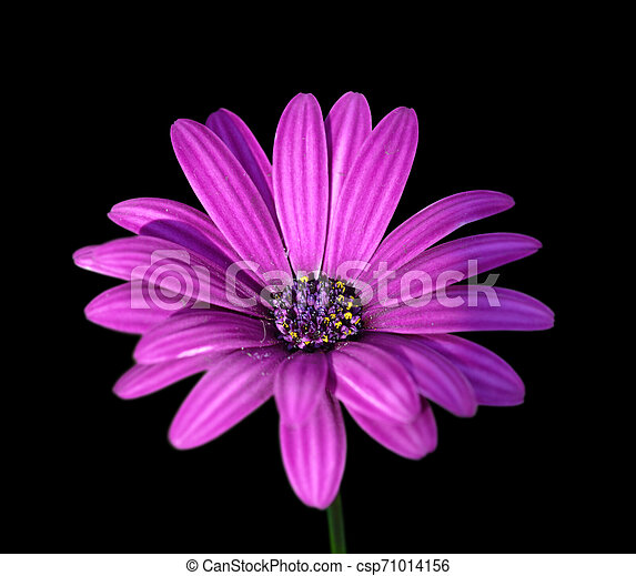 Beautiful purple flower isolated on a black background - csp71014156